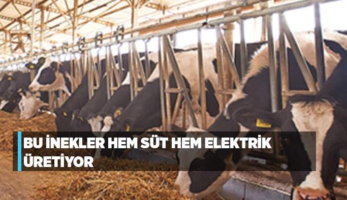 Bu inekler hem süt hem elektrik üretiyor
