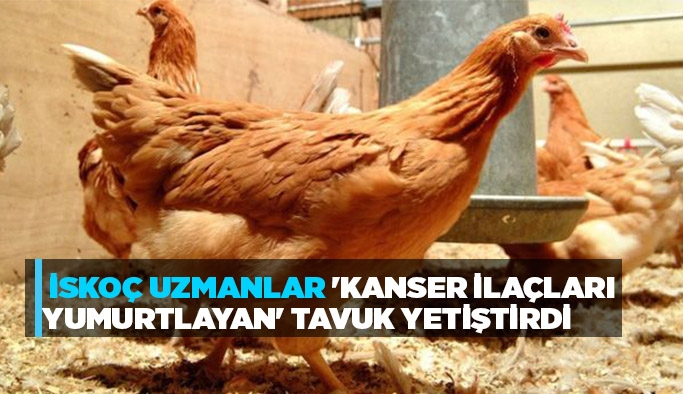 İskoç uzmanlar 'kanser ilaçları yumurtlayan' tavuk yetiştirdi
