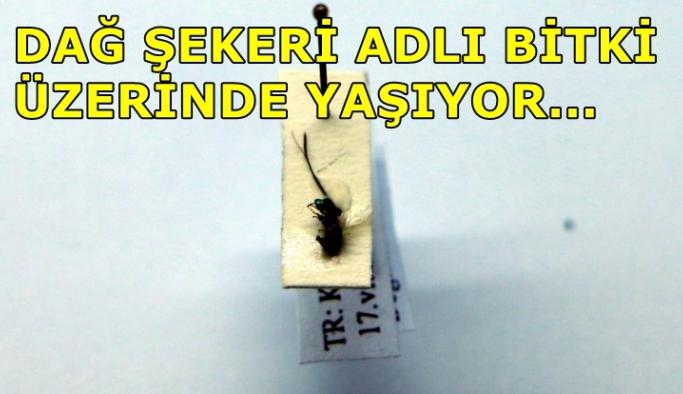 Kahramanmaraş'ta iki yeni böcek türü bulundu