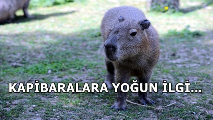 Hayvanat bahçesinde kapibaralara yoğun ilgi