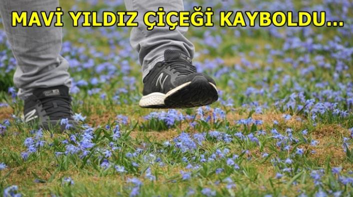 Ziyaretçilerin çiğnediği 'Mavi Yıldız' çiçeği kayboldu