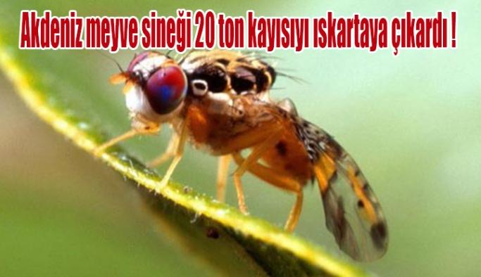Akdeniz meyve sineği 20 ton kayısıyı ıskartaya çıkardı !