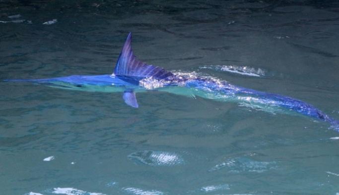 Kemer'de  Mavi yelken balığı görüntülendi
