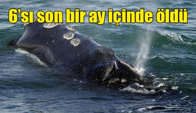 Nesli tükenmekte olan Atlantik balinalarının 6'sı son bir ay içinde öldü