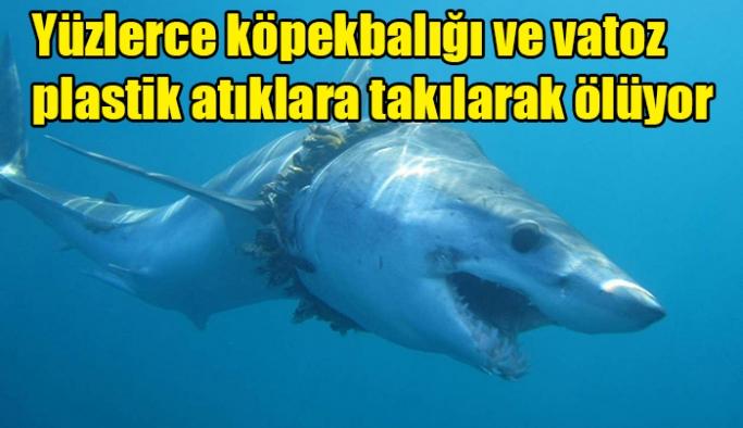 Yüzlerce köpekbalığı ve vatoz plastik atıklara takılarak ölüyor