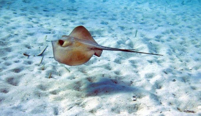 18 köpekbalığı ve vatoz türü, koruma kapsamına alınıyor