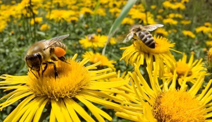 Arılar ilaçlamada kullanılacak!