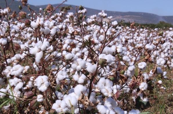 Torbalı'da pamuk hasatı başladı