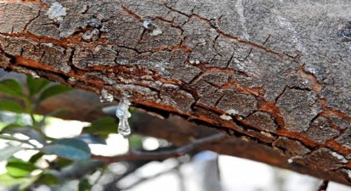 Alaçatı'daki sakız ağaçlarından 40 yıl sonra ilk hasat