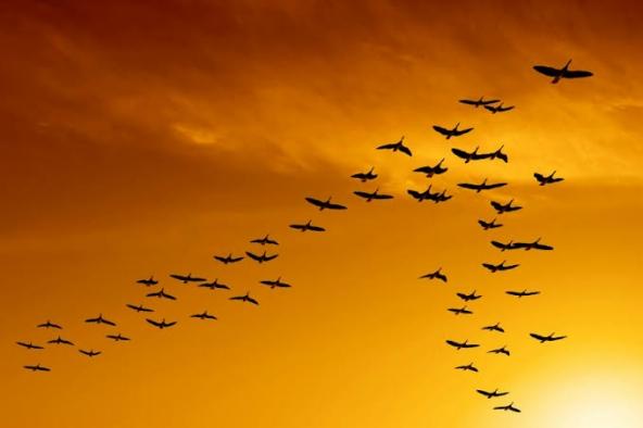 Kuşlar neden v şeklinde uçar?