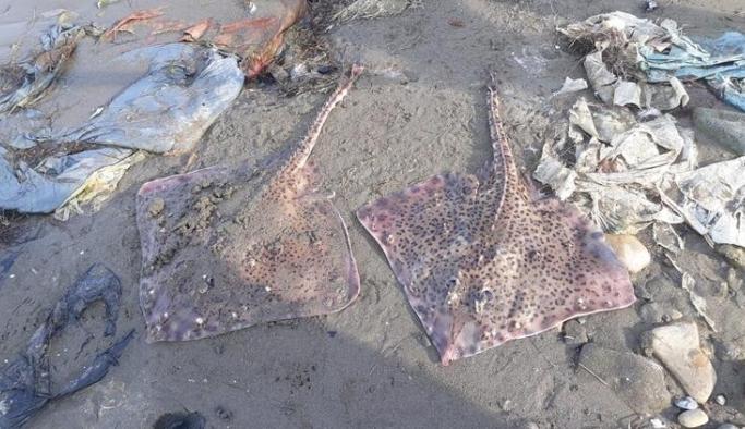 Tehlikeli ve öldürücü balıklar kıyıya vurdu
