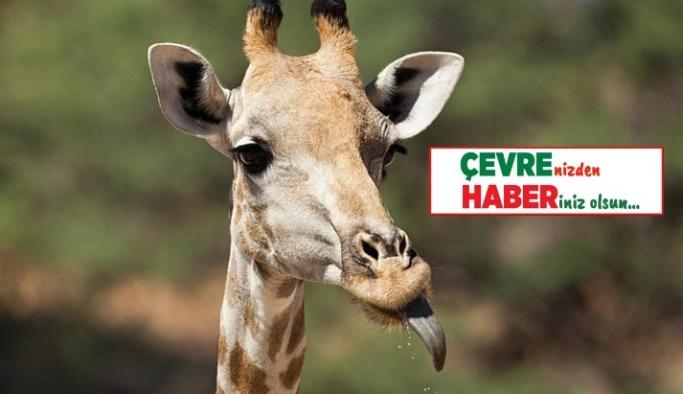 Zürafaların dilleri kaç cm'dir?