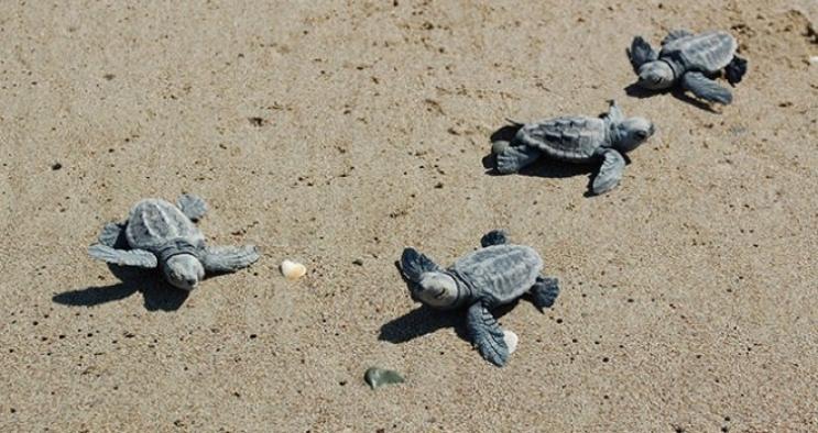 Binlerce deniz kaplumbağası deniz ile buluştu