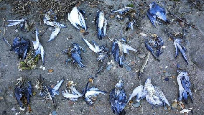 Dev sıcak su kütlesi bir milyon kuşu öldürdü!