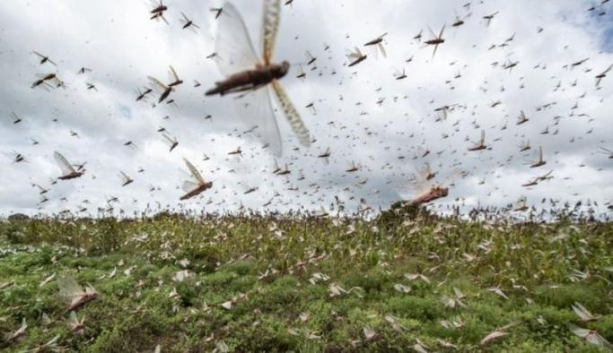 Çöl çekirgeleri Koronavirüs'ten tehlikeli!
