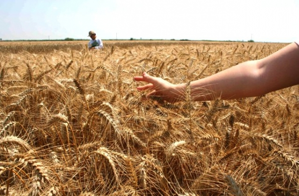Buğday üretiminde yüzde 5-7 oranında artış bekleniyor