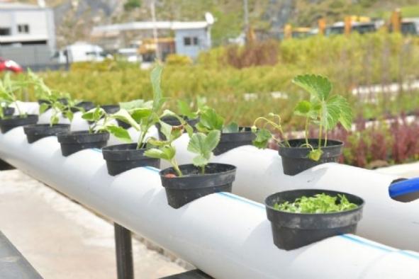 İzmir'de Çiğli Belediyesi  topraksız tarım için destek veriyor
