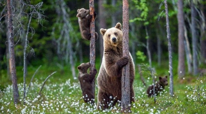 İtalya ölüme çarptırılan ayıyı konuşuyor