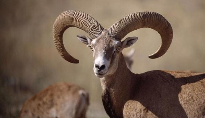 Adana, Mersin, Hatay, Niğde ve Kayseri'de 97 yaban keçisinin avlanmaması için destek çağrısı