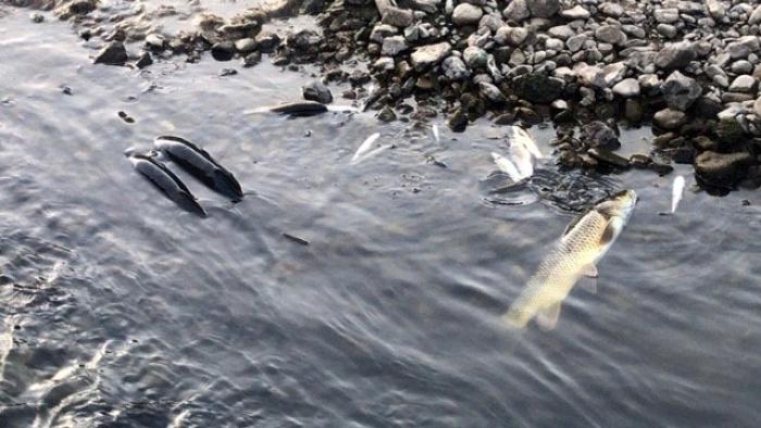 Çan'da balık ölümleri yaşanıyor