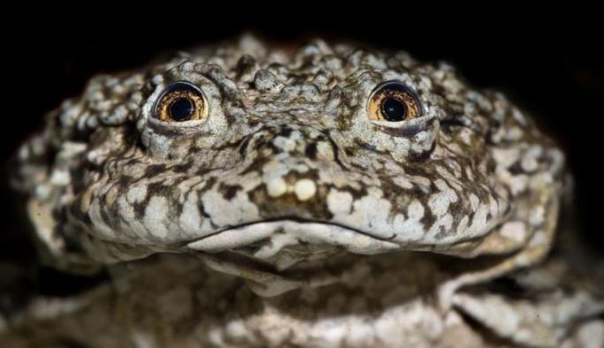 Dev Titicaca Gölü kurbağası: Bilim insanları dünyanın en büyük kurbağasını kurtarmaya çalışıyor