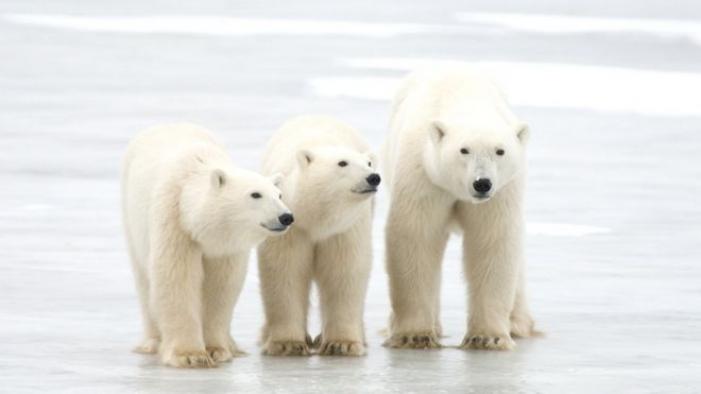 İklim krizi: Kutup ayılarının nesli 80 yıl içinde tükenebilir
