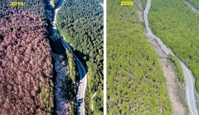 Tırtıl istilasına uğrayan ormanlar normale döndü