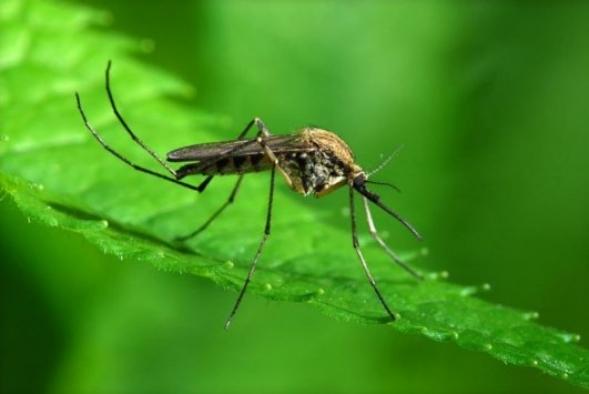 ABD'de Zika önlemi: Genetiği değiştirilmiş 750 milyon sivrisinek doğaya salınacak