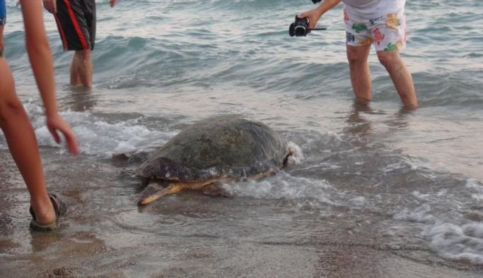 Uydu takip cihazı takılan kaplumbağalar denize bırakıldı