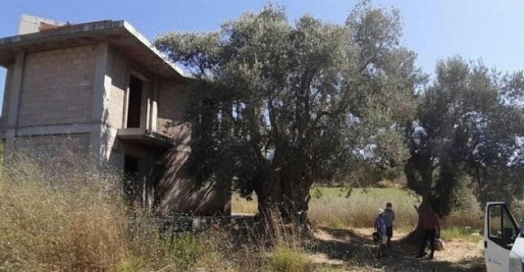 1.500 yıllık zeytin ağacının yanına yapılan villa yıkıldı!