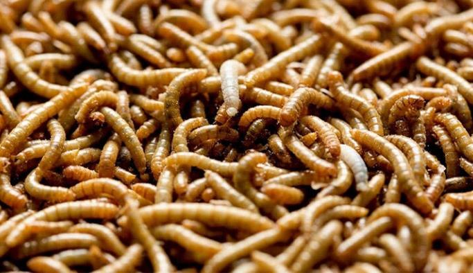Bilim insanlarından dehşet veren uyardı: Kurtçuklarla beslenmeye hazır olun