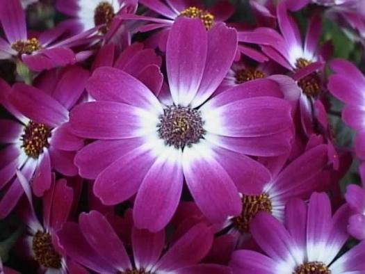 Çiçekler iklim değişikliği karşısında renk değiştirdi!