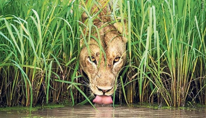 Vahşi yaşam popülasyonu 46 yılda ortalama yüzde 68 düştü
