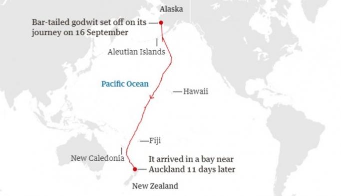 11 gün boyunca aralıksız uçan kuş dünya rekoru kırdı