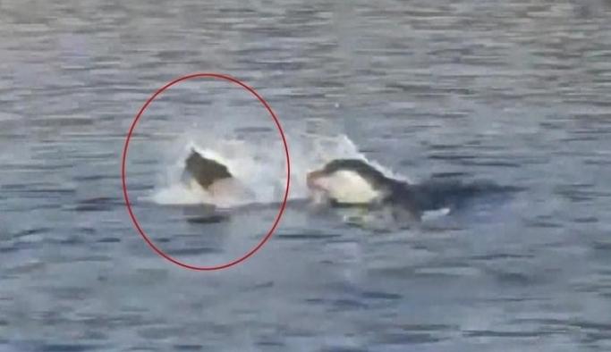 Akdeniz foku, çöp poşetini savurdu!