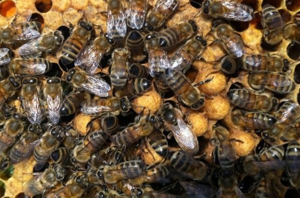 Arılar, yaşanan kuraklık nedeniyle nüfus planlamasına geçti.
