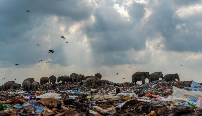 Çöp yığınları arasında yiyecek arayan fil sürüsü!