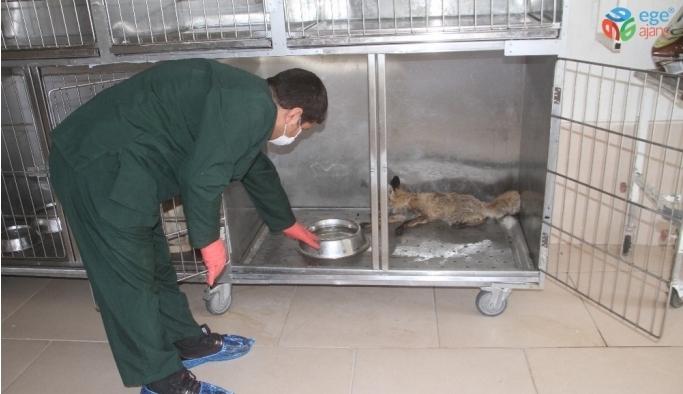 Elazığ'da bitkin halde bulunan tilki tedavi altına alındı