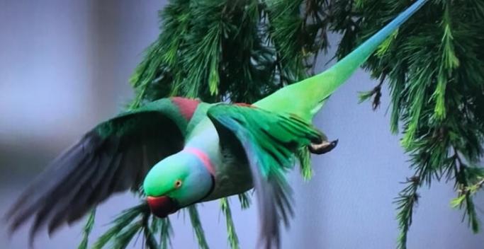 İstanbul'da yeşil papağan istilası: Kent faunası bozulma riski altında