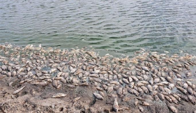 Rusya'da milyonlarca deniz canlısı kıyıya vurdu