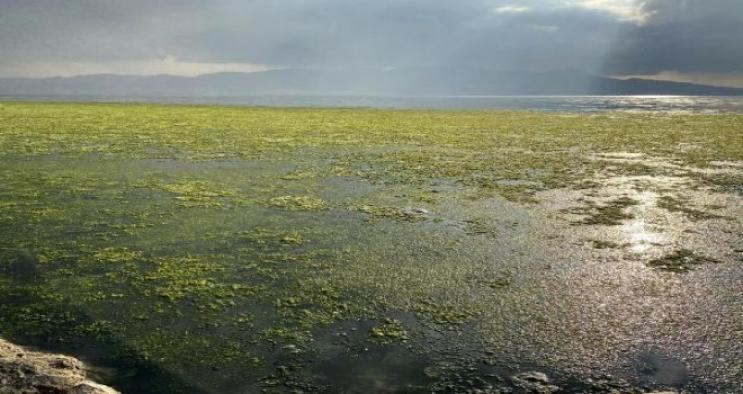 Bostanlı sahilinin deniz yüzeyini 'deniz marulu' kapladı