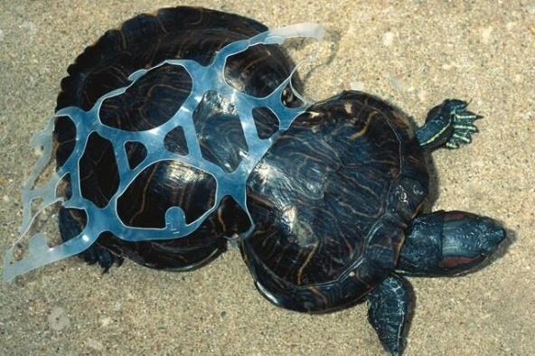 Ölen kaplumbağaların yüzde 60'ında plastik madde çıkıyor!