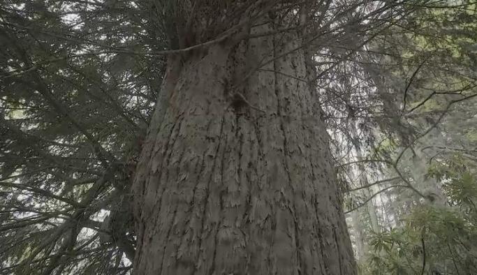 Türkiye'nin en yaşlı ağacı; 4 bin 115 yaşında!
