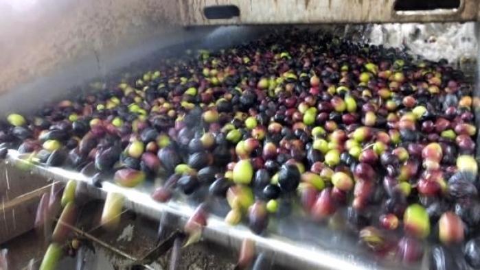 Çevre dostu zeytin çekirdeği, Yunanistan'a ihraç ediliyor