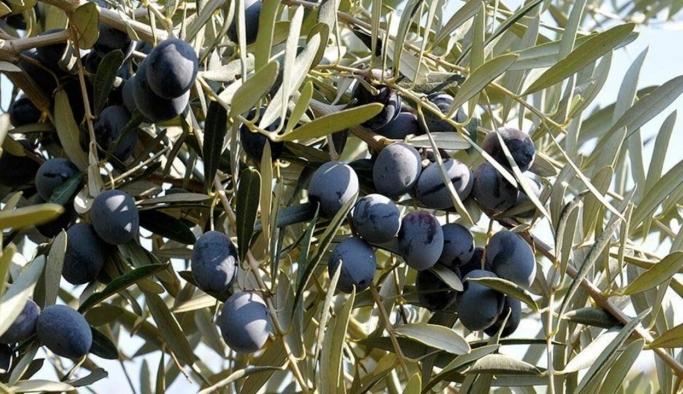 İklim değişikliği nedeniyle zeytinde tahmini kayıp 145 bin ton!