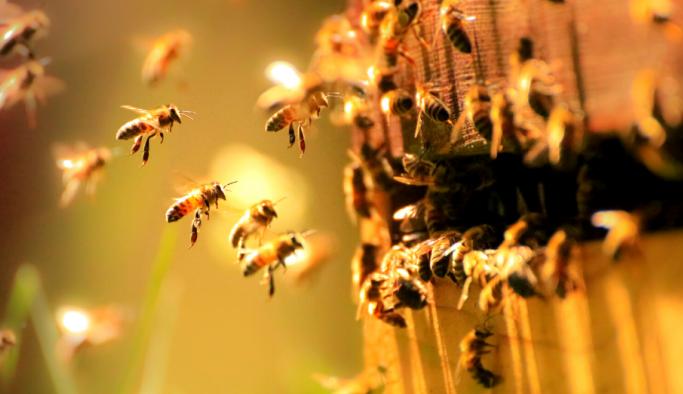 Arılar iklim değişikliğine kurban gidiyor!