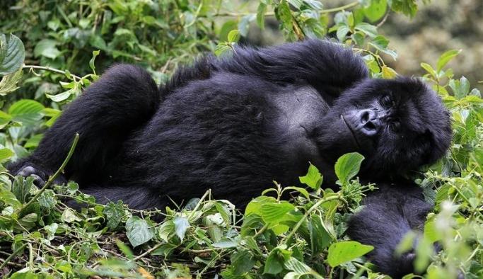 İlk kez gorillerde koronavirüs tespit edildi