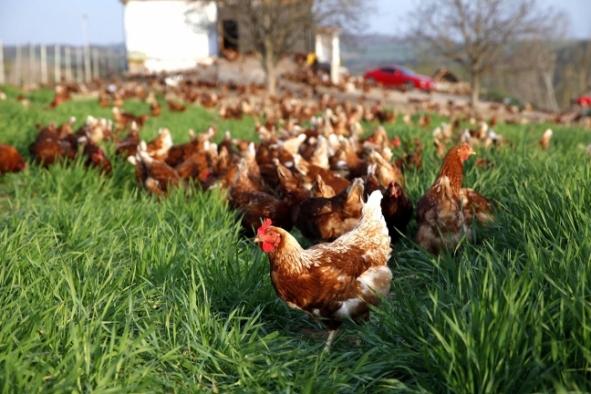Organik tavuk üretimi daha fazla sera gazı emisyonuna neden oluyor!