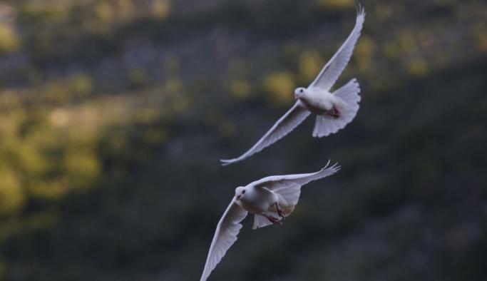 Pasifik Okyanusu'nu geçerek ABD'den Avustralya'ya uçan güvercin itlaf edilecek