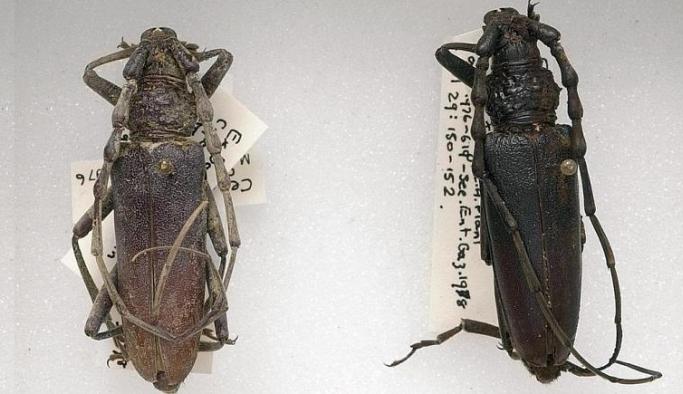 Bilim insanları: Küresel ısınma nedeniyle 4 bin yıllık böcek türü İngiltere'ye dönebilir